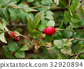 Red Berry Of Dogrose Close-up 32920894