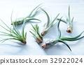 空中植物 空氣鳳梨 室內盆栽 32922024
