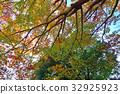 ต้นเมเปิล,ฤดูใบไม้ร่วง,ผักใบ 32925923