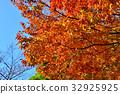 japanese, zelkova, maple 32925925