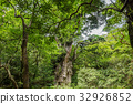 national park, yakushima, japanese cedar 32926852