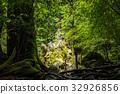 national park, yakushima, japanese cedar 32926856