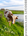 A cow grazes on a green meadow near a lake 32930088
