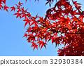 ต้นเมเปิล,ฤดูใบไม้ร่วง,ผักใบ 32930384