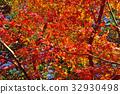 ต้นเมเปิล,ฤดูใบไม้ร่วง,ผักใบ 32930498