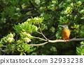 野生鳥類 野鳥 賞鳥 32933238