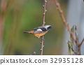 紅尾鴝 野生鳥類 野鳥 32935128