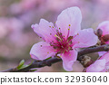 Beautiful flowering Japanese cherry - Sakura. 32936040