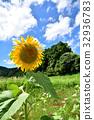 해바라기 여름 풍경 32936783