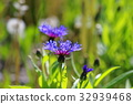 cornflower, bloom, blossom 32939468