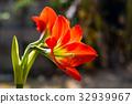 Hippeastrum johnsonii Bury beautiful flower 32939967