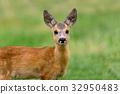 deer, wildlife, animal 32950483