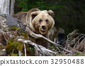 Brown bear in the forest 32950488