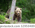 Brown bear in the forest 32950489
