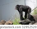 침팬지, 동물원, 동물 32952520