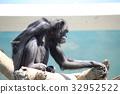 침팬지, 동물, 포유류 32952522
