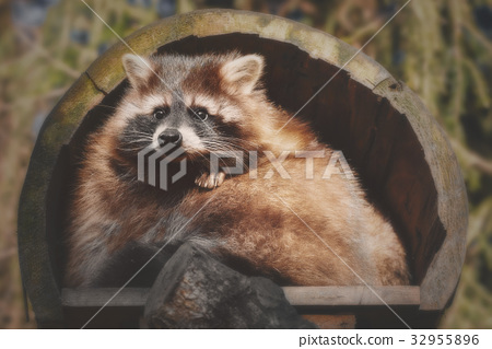 A little racoon looks out of his house 32955896