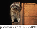 A  little raccon looks out of his house 32955899