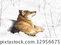 A wolf lying in the snow and relaxing 32956675