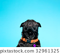 Black pug on a blue background 32961325
