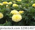 萬壽菊 花朵 花 32961467