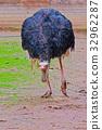 emu, australian, close-up 32962287