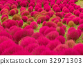 Red Kochia in japanese garden 32971303