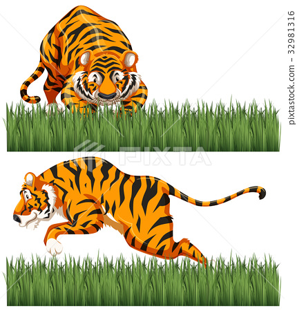 Two scenes of wild tiger 32981316