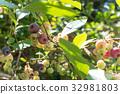 blueberries, blueberry, fruit 32981803