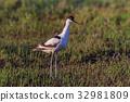 Pied Avocet (Recurvirostra avosetta) 32981809