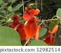 鸡冠刺桐 落叶灌木 花朵 32982514