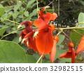 鸡冠刺桐 落叶灌木 花朵 32982515