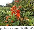 鸡冠刺桐 落叶灌木 花朵 32982645