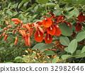 雞冠刺桐 落葉灌木 花朵 32982646