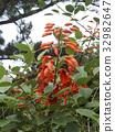 雞冠刺桐 落葉灌木 蓓蕾 32982647