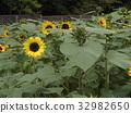 向日葵 太陽花 黃色 32982650