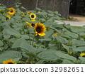向日葵 太陽花 黃色 32982651