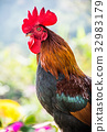 Chicken, cock, rooster 32983179