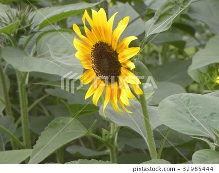 黄色 一年生植物 头状花序 32985444