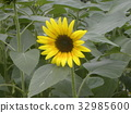 yellow, annual plant, capitulum 32985600