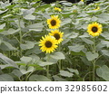 yellow, annual plant, capitulum 32985602