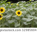 yellow, annual plant, capitulum 32985604