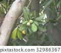 楊梅 楊梅屬植物 亞洲香(楊)梅 32986367