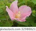 木芙蓉 芙蓉 花朵 32986621