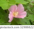 木芙蓉 芙蓉 花朵 32986622