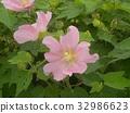 木芙蓉 芙蓉 花朵 32986623