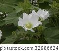 木芙蓉 芙蓉 花朵 32986624