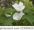 木芙蓉 芙蓉 花朵 32986625