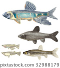 淡水鱼 婚姻色 水边 32988179