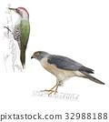 鳥兒 鳥 鷹 32988188